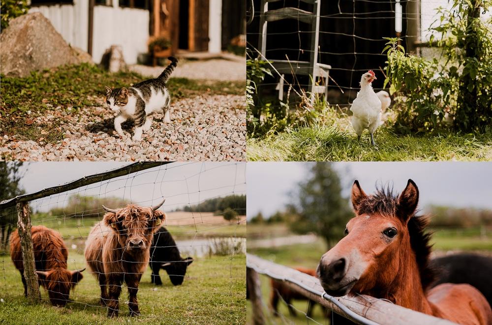 osada-debowo-kiersztanowo-zwierzęta-w-zagrodzie